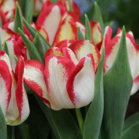 Triumph tulipánok