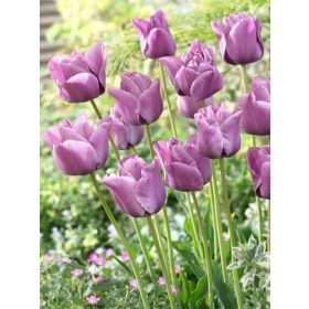 Szimpla késői tulipán