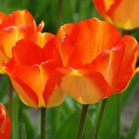 Darwin tulipánok