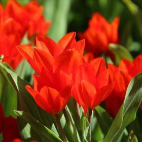 Csokros tulipánok