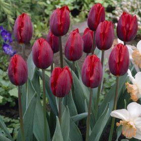 Szimpla korai tulipán