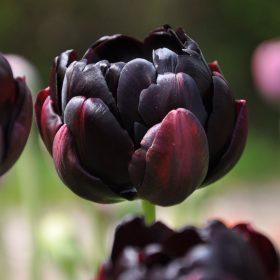 Teltvirágú tulipánok