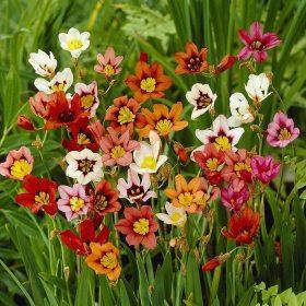 Cigányvirágok