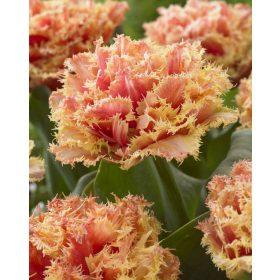 Rojtosvirágú tulipán