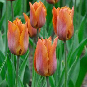 Liliomvirágú tulipánok