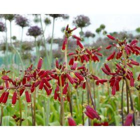 Tüzijáték virágok