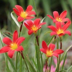 Zefírvirágok