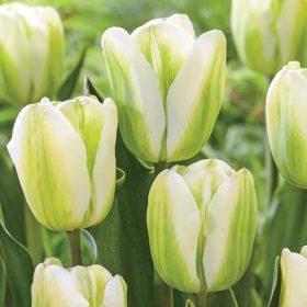 Viridiflora tulipánok