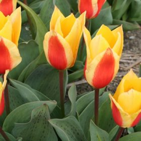Greigii tulipán