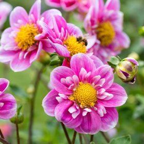 Galléros virágú dáliák
